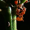 Megalomyrmex Goeldi tending an aphid