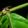 Crematogastor tending a  Ciccadoidea