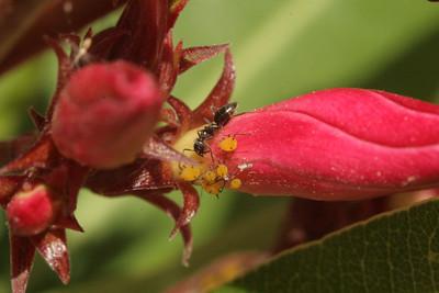 Ants tending  Hemiptera
