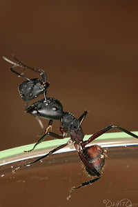 2 Ants where fighting on the Teak Table when one bit the Head of the other. The funny part was that the Head stuck  on her.
