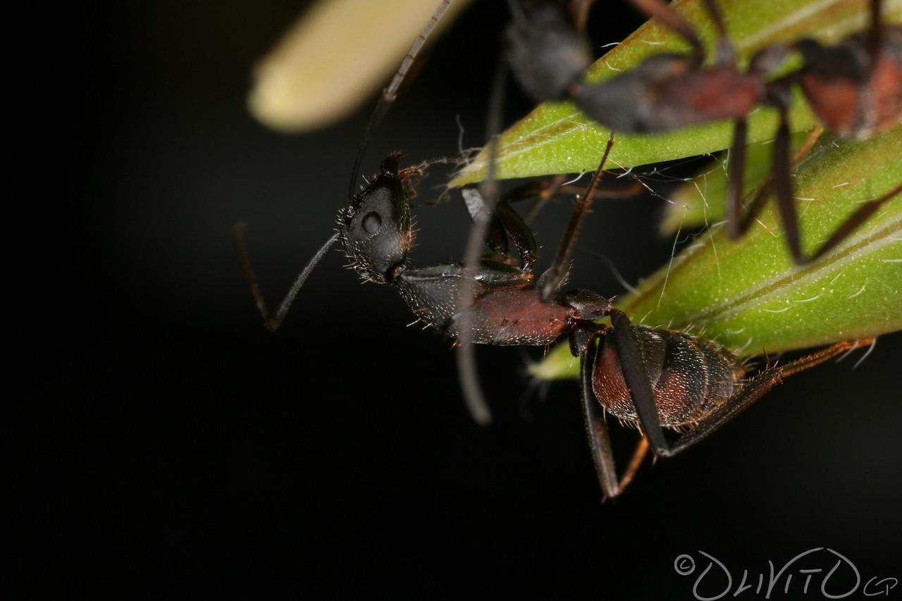 Ants-16