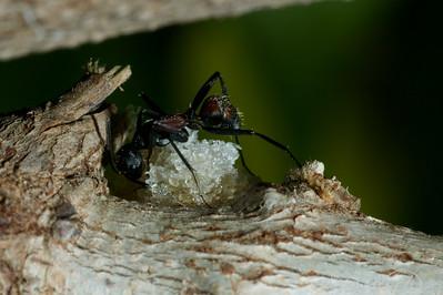 Ants-25
