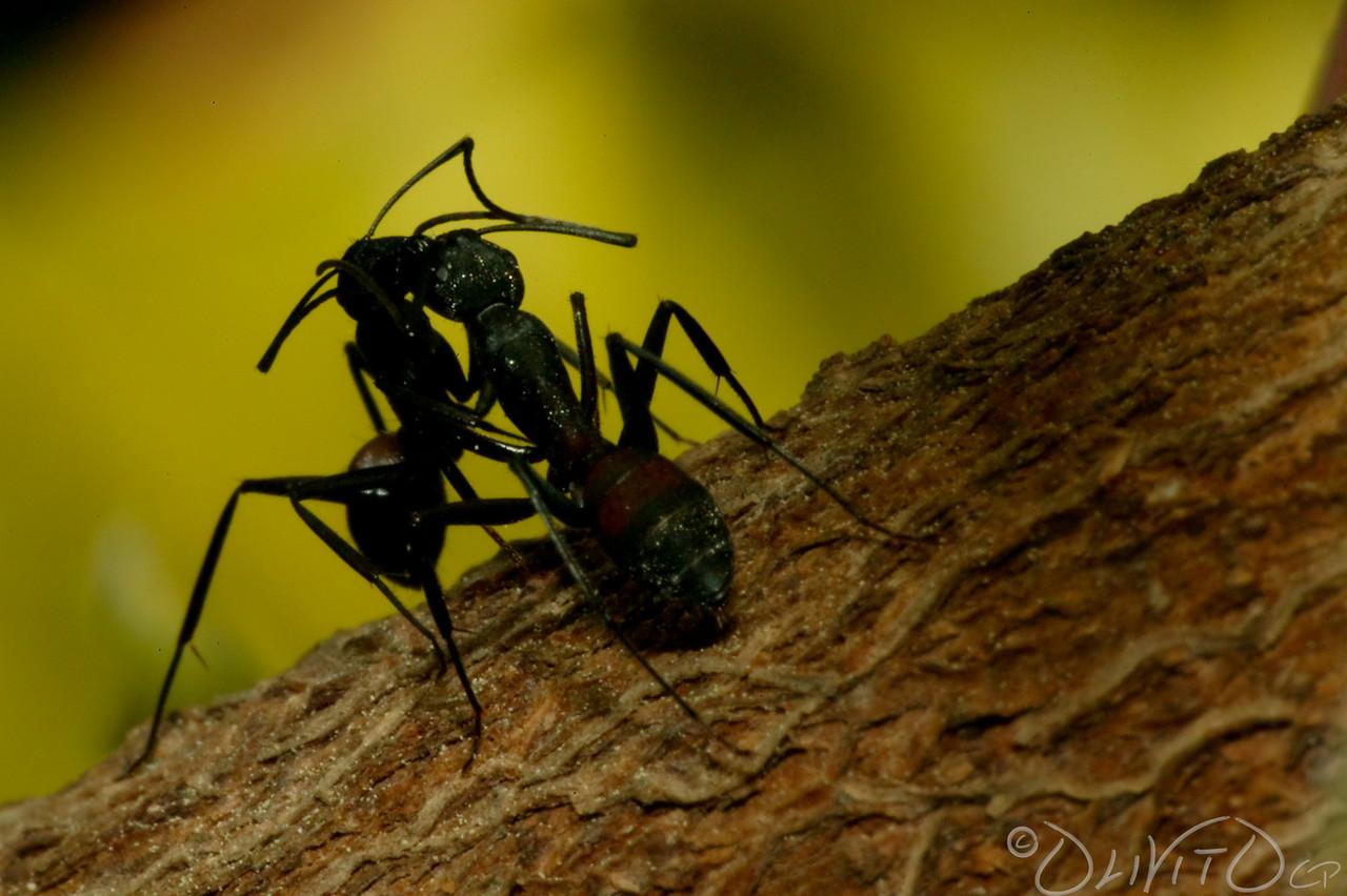 Ants-31