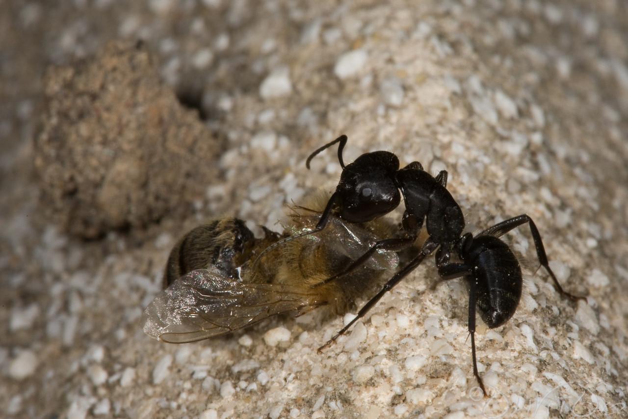 Ants-38
