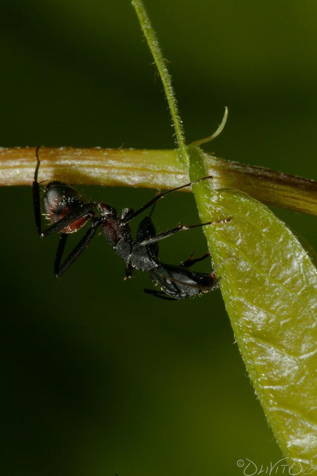 Ants-26