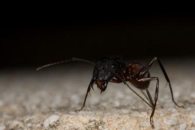 Ants-8