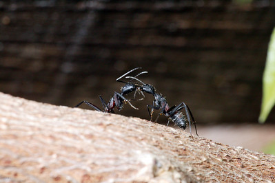 Ants-28