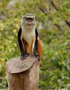 Wolf Monkey