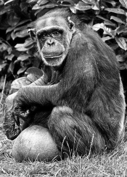 Chester Zoo Chimp [1]