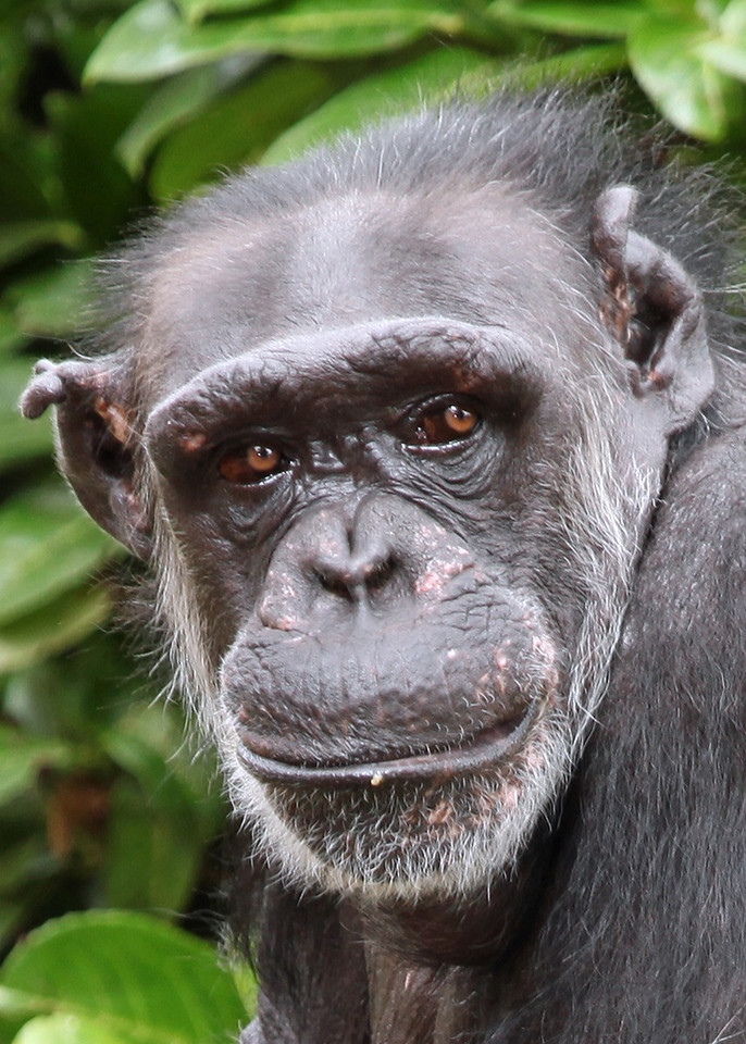Chimp Zoo Chimp