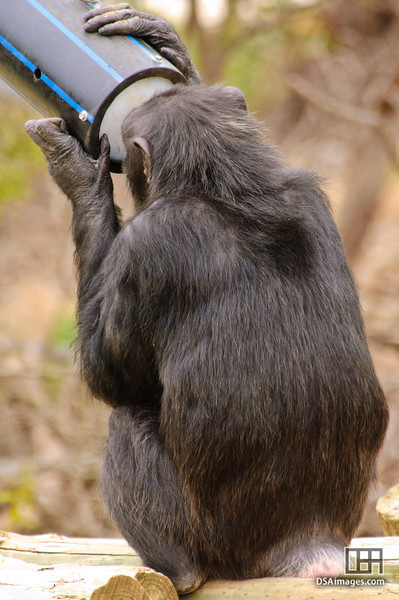 Common Chimpanzee (Pan troglodytes)