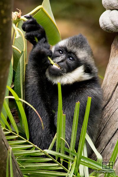"17 month old ""Nhu"", White-Cheeked Gibbon (Hylobates leucogenys)"