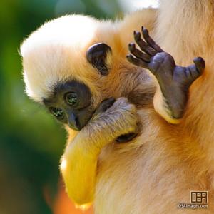 Baby White-Cheeked Gibbon (Hylobates leucogenys)