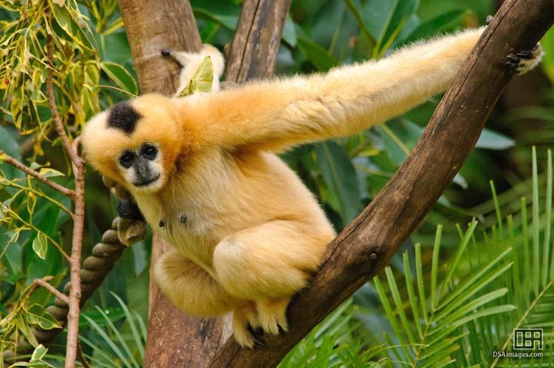White-Cheeked Gibbon (Hylobates leucogenys)
