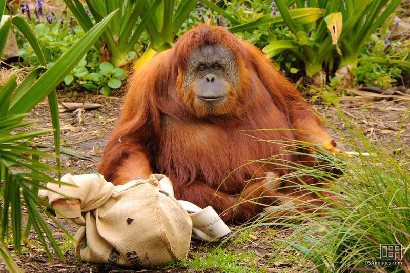 Sumatran Orang-utan (Pongo pygmaeus abeli)