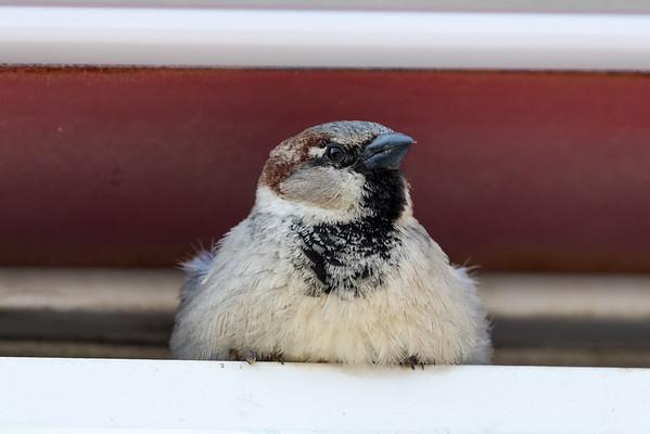 Apr 11th 2017 House Sparrow