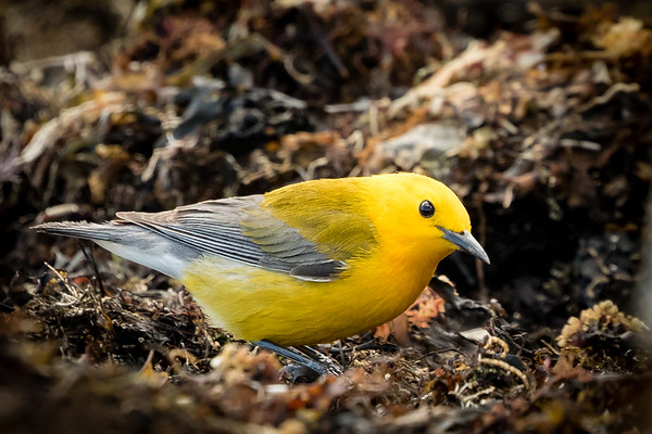 Apr 14th 2017 Prothonotary Warbler