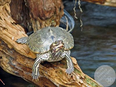 Turtle at the Tennessee Aquarium