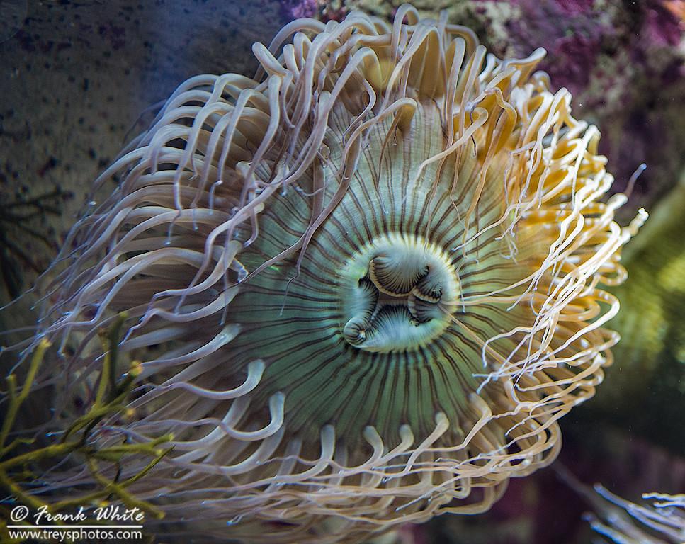Sea anemonea #6