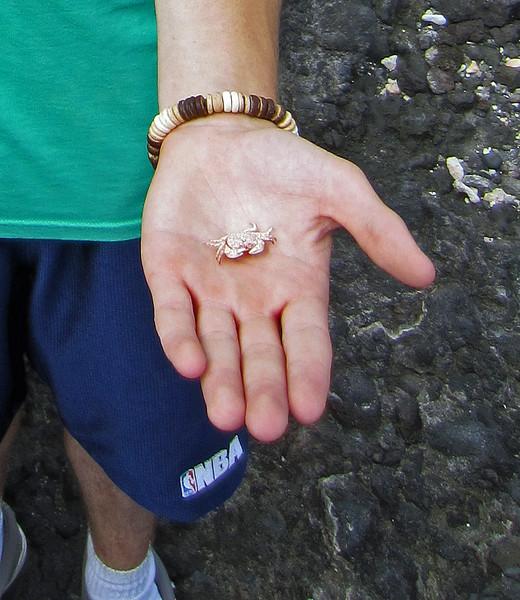 July 9, 2014.  Dead crab along the Kona coast, Hawaii Big Island