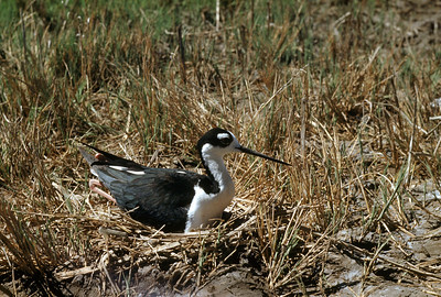 Black-necked Stilt (Himantopus mexicanus), 1953