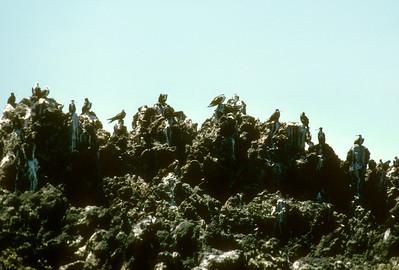 Frigatebird (Fregata magnificens) Baja California, Mexico,1977