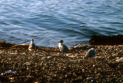 Bonaparte's Gull (Chroicocephalus philadelphia) Baja California, Mexico, 1977