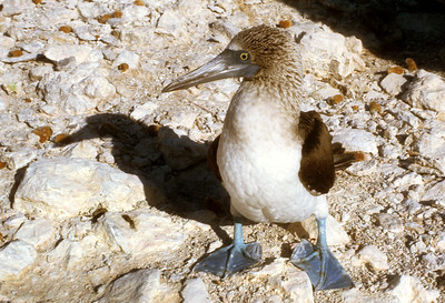 Blue-footed Booby (Sula nebouxii) Baja California, Mexico, 1976