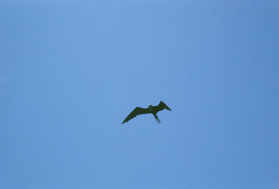 Frigatebird (Fregata magnificens) Baja California, Mexico, 1976