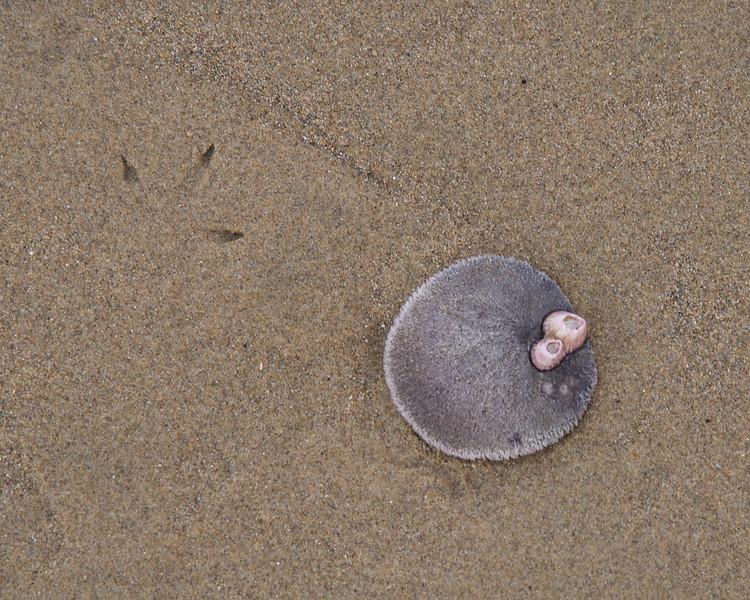 Live Sand Dollar