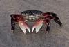 Aggressive Crab