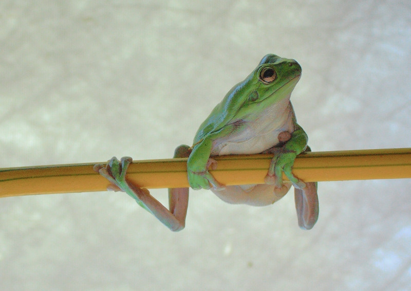 Frog on a stick, Australian Tree Frog
