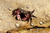 Torrey Pines Crab