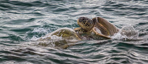 Honu - Green Turtle