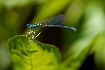 Mavi gözlü Yusufçuk (Peygamber böceği)