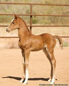 Arabian Filly - Born March 30, 2008 , Sire: Afires Vision, Dam: Lovely Lady V,  Arabian Foal