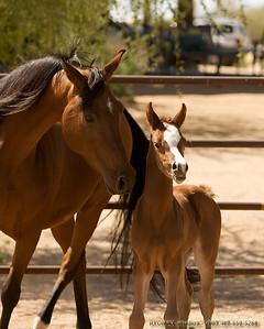 Arabian Filly - Born March 30, 2008 , Sire: Afires Vision, Dam: Lovely Lady V , Arabian Foal