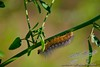 Salt Marsh Moth caterpillar<br /> <br /> _MG_5406