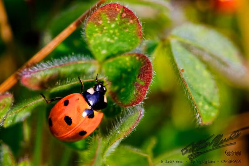 A Lady Bug _MG_1277