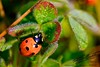 A Lady Bug _MG_1277
