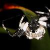 Bird dropping spider, Melbourne