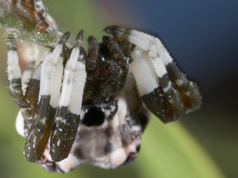 Bird dropping spider