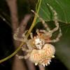 Magnificent Spider, Ordgarius magnificus