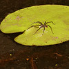Dolomedes sp.  Common water spider