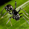 Ant immitating spider.  A tiny black jumping spider mimics an ant
