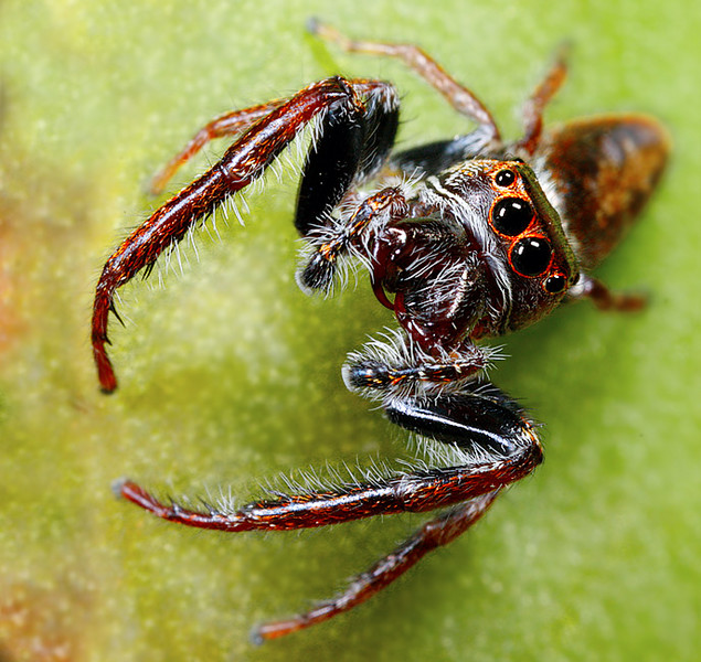 Jumping spider.  Opisthoncus mordax