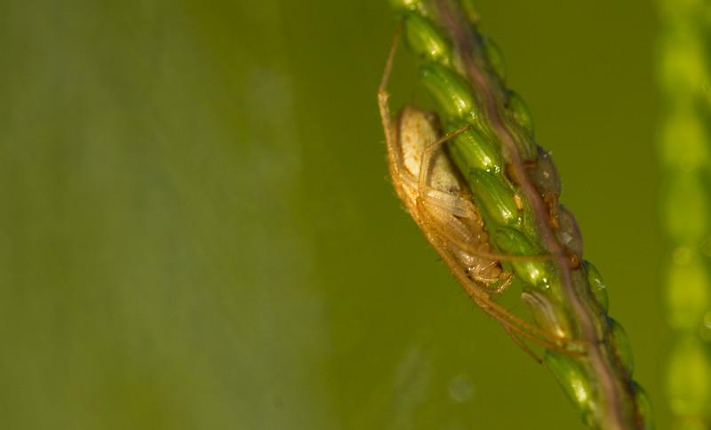 Larinia sp. Orbweaver