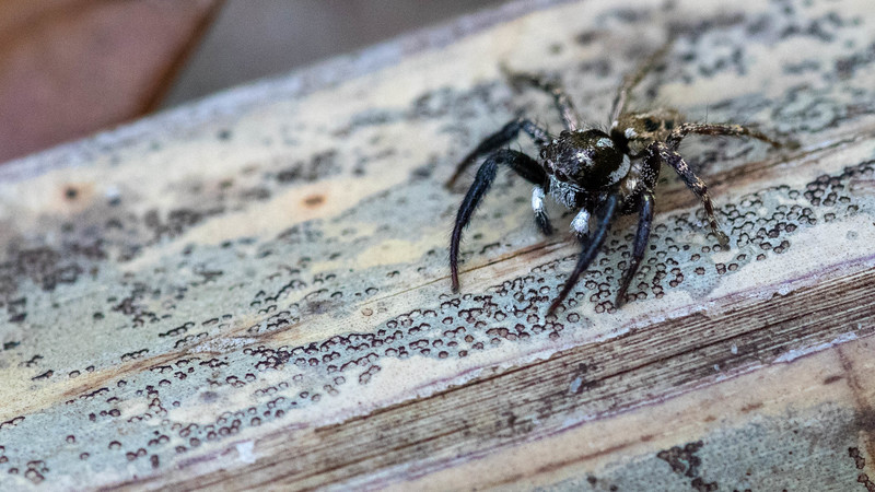 Twin-flagged Jumping Spider