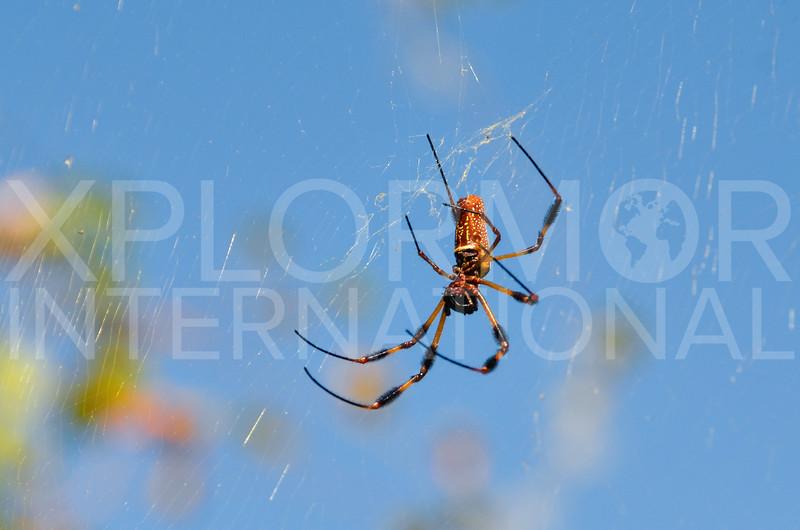 Orb-weaver Spider, Unidentified