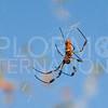 Orb-weaver Spider - Need ID